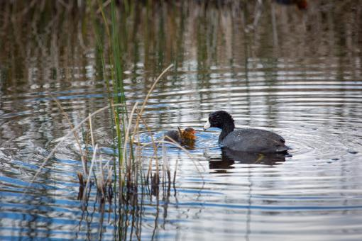 American Coot - Free Stock Photo