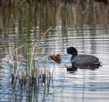 Free Photo - American Coot