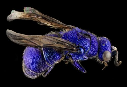 Blue Bee - Free Stock Photo