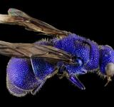 Free Photo - Blue Bee