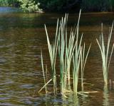 Free Photo - Reeds in the River