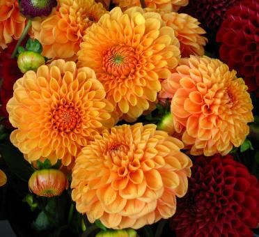 Fresh Dahlias - Free Stock Photo