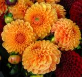 Free Photo - Fresh Dahlias