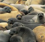 Free Photo - Elephant Seals