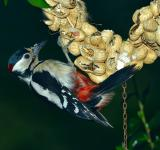 Free Photo - Great Spotted Woodpecker