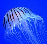 Free Photo - Jellyfish in the Ocean