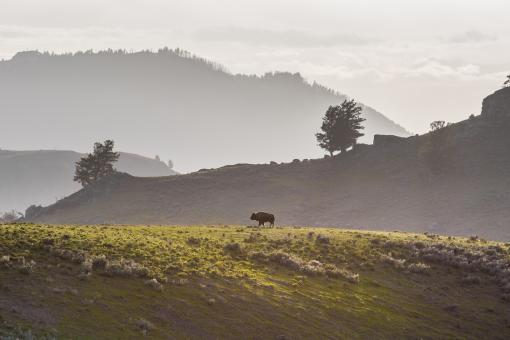 Lone Bison - Free Stock Photo