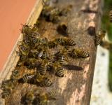 Free Photo - Bees entering bee hive