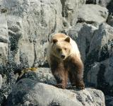 Free Photo - Brown Bear