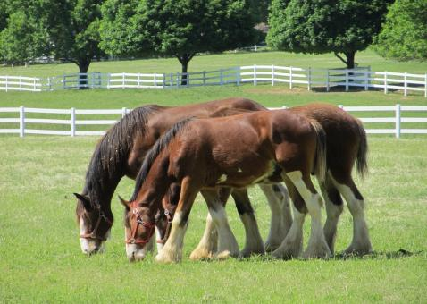 Clydesdales Farm - Free Stock Photo