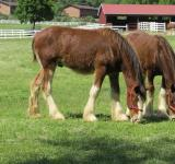 Free Photo - Clydesdales Farm