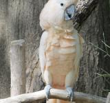 Free Photo - Cockatoo on the Branch