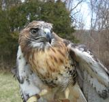 Free Photo - Red Tailed Hawk