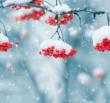 Free Photo - Snow on Berries