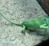 Free Photo - Green Chameleon
