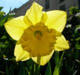 Free Photo - Fresh Daffodil