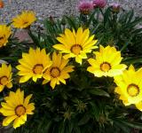 Free Photo - Fresh Gazania