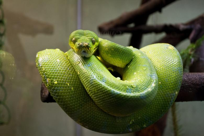 Free Stock Photo of Green Tree Python Created by Pixabay