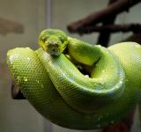 Free Photo - Green Tree Python