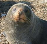 Free Photo - Seal Closeup