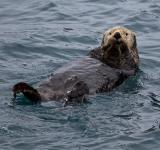 Free Photo - Sea Otter