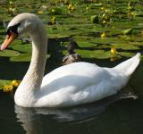Free Photo - Swan in the River