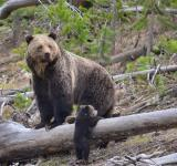 Free Photo - Brown Bears