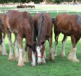 Free Photo - Clydesdale Farm