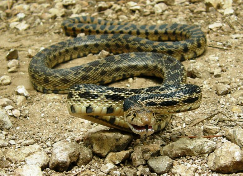 Free Stock Photo of Gopher Snake Created by Pixabay