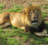 Free Photo - King of the Jungle