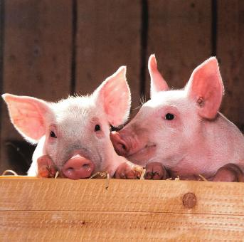 Pigs in the Farm - Free Stock Photo