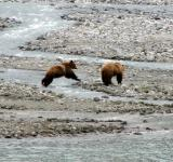 Free Photo - Brown Bears Hunting