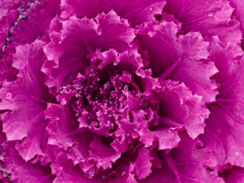 Free stock image of Purple Cabbage created by Pixabay