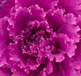 Free Photo - Purple Cabbage