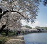 Free Photo - Cherry Trees