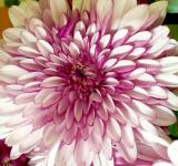 Free Photo - Fresh Chrysanthemum