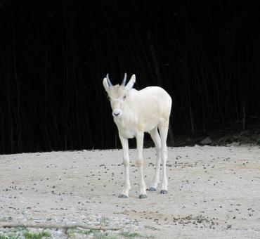 White Gazelle - Free Stock Photo