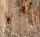 Free Photo - Pileated Woodepecker
