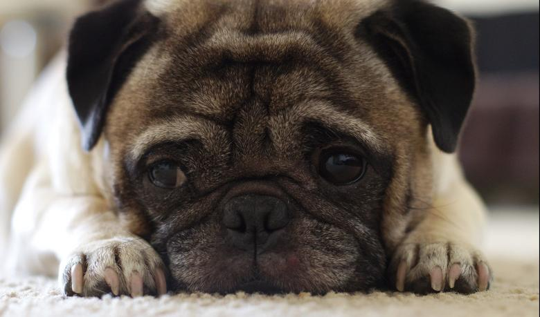 Free stock image of Lonely Pug created by Pixabay