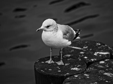 Seagull Resting - Free Stock Photo