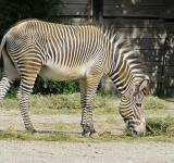 Free Photo - Zebra in the Zoo