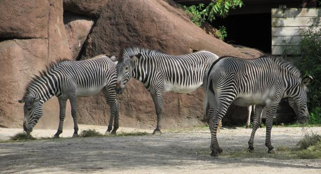Zebras in the Zoo - Free Stock Photo