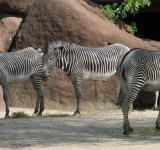 Free Photo - Zebras in the Zoo