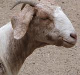 Free Photo - Billy Goat