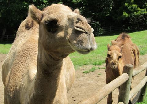 Camel Closeup - Free Stock Photo