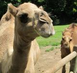 Free Photo - Camel Closeup