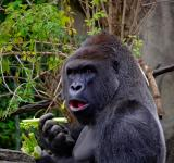 Free Photo - Wild Gorilla