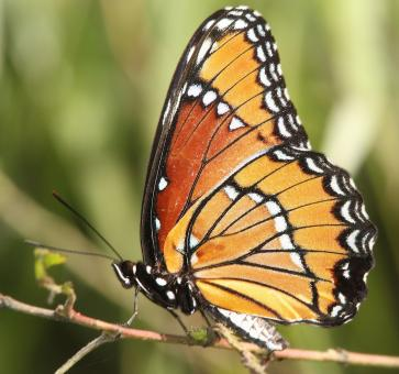 Viceroy Butterfly - Free Stock Photo