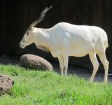 Free Photo - White Addax