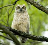 Free Photo - Great Horned Owl